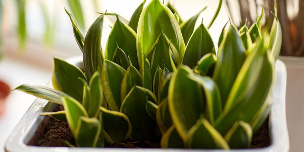 Planten Op Kantoor : Welke planten gedijen het best op kantoor kantoorplanten die
